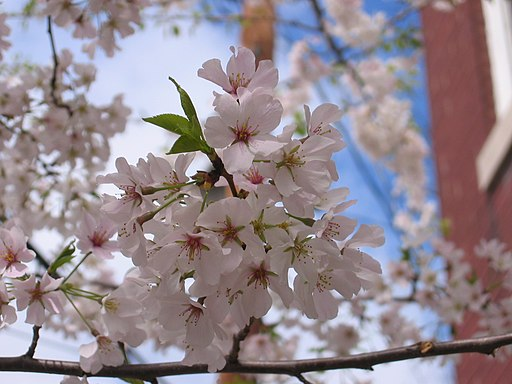 A_cherry_blossom_blooming_in_Old_Town_Alexandria_-_panoramio