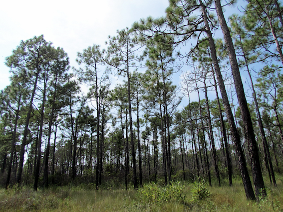 Croatan_National_Forest,_NC